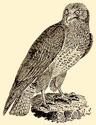 Thomas Bewick (1752-1828)  Common Buzzard c.1797